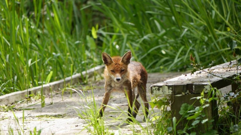 A fox in Dacres Wood © Tom Moulton