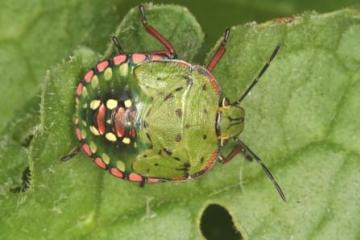 Southern Green Shield Bug