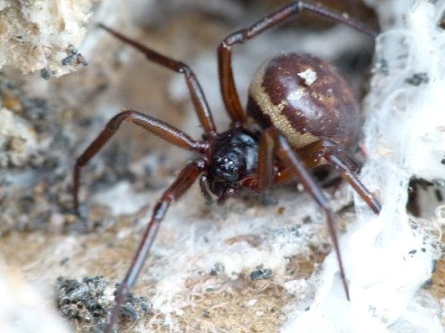 Steatoda grossa spider