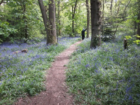 Bluebells in Beckenham Place Aprk