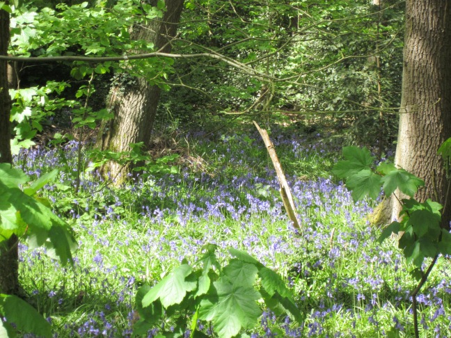 The smell of the Bluebells was amazing