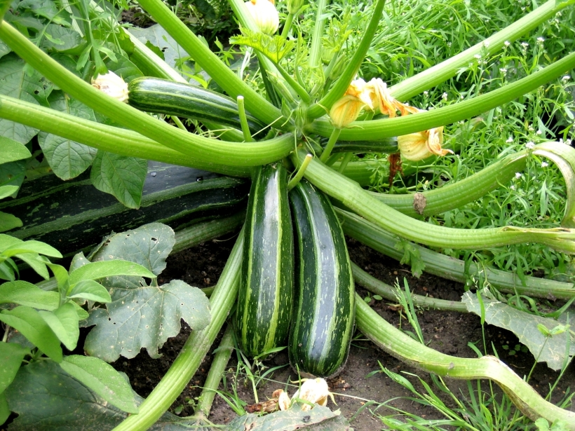zucchini/courgette ©FreeImages.com/Michael and Christa Richert