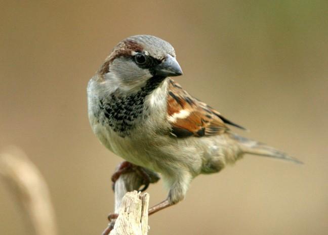 House sparrow ©FreeImages.com/Michael Somsen