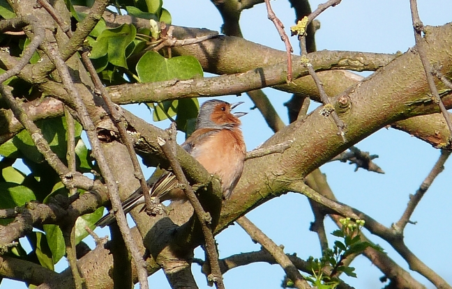 Chaffinch singing Catford bridge P1040531
