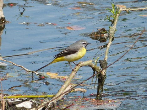 Grey Wagtail at cornmill Gardens