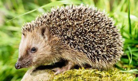hedgehog-405726