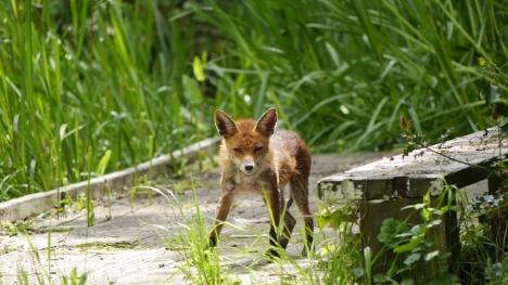 fox in dacres wood. t.moulton walk