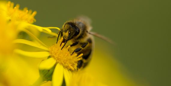 Honey Bee on ragwort (©Daniel Greenwood)