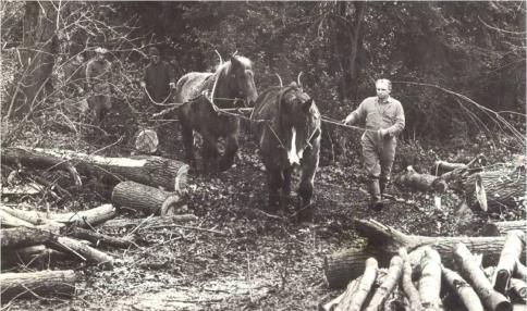 Horses removing timber after storm of 1987