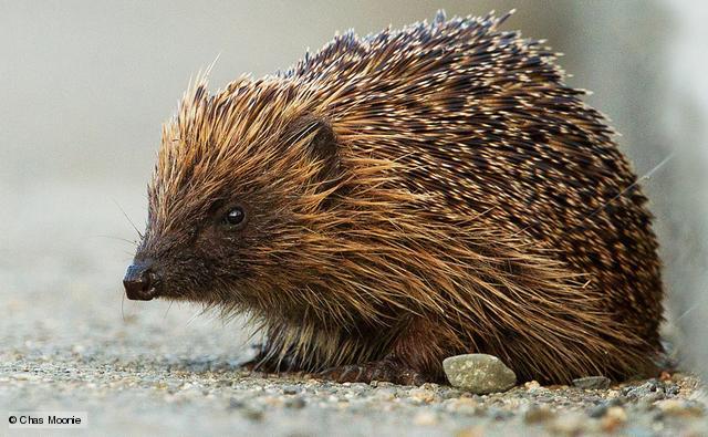 european-hedgehog Wild about Gardens Week - hedgehogs(WAGW)