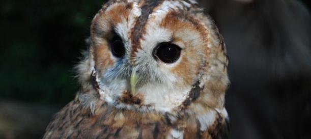 Tawny Owl © Daniel Greenwood