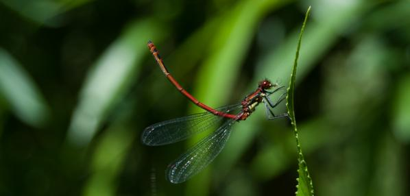Large Red Damselfly © Daniel Greenwood