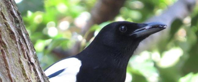 Magpie in Sydenham Hill Wood © John Walsh