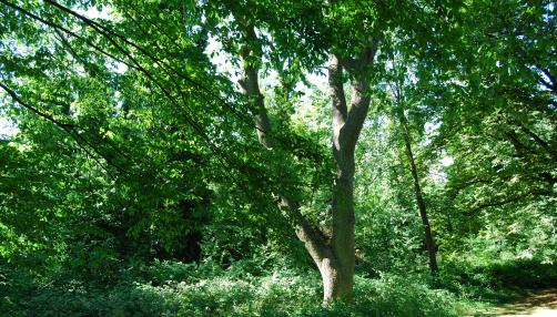 Sydenham Hill Wood © London Wildlife Trust