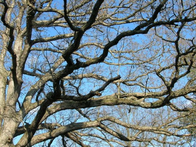 Old oak tree ©FreeImages.com Julie Brummett