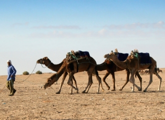 Camels Photo by Robert Parzychowski from FreeImages